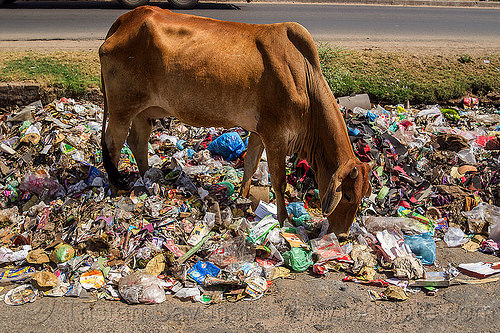 cow searching for food among plastic trash (india), dump, environment, garbage, plastic trash, pollution, road, rubbish, street cow