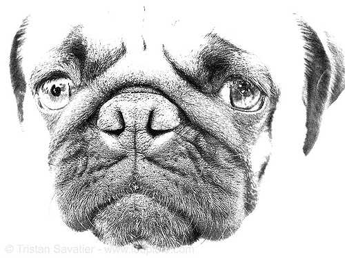 pug dog head, dog head, dog snout, doggy, eyes, gordy, nose, pug, ugly, wrinkles