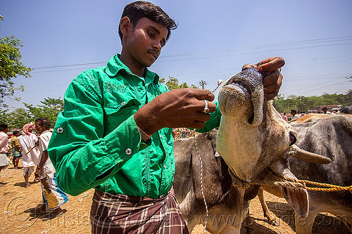 putting rope through cow nose piercing (india), cattle market, cow, india, leash, rope, west bengal