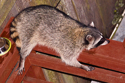 raccoon resting on wooden handrail, lying down, night, nocturnal, procyon lotor, raccoon, resting, urban wildlife