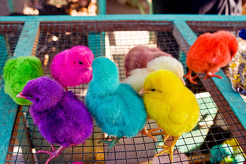 rainbow colored chicks, baby chickens, bird market, birds, colored chicks, colorful, indonesia, jogja, poultry, rainbow chicks, rainbow colors, yogyakarta