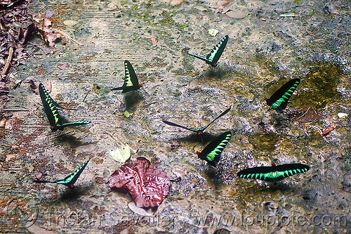 rajah brooke birdwing butterflies, borneo, butterflies, gunung mulu national park, insects, malaysia, rajah brooke birdwing, rajah brooke's birdwing, trogonoptera brookiana, wildlife