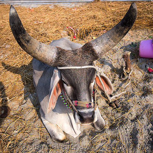 rajasthan kankrej ox with large horns, attached, big horns, hare krishna, hindu pilgrimage, hinduism, india, iskcon, kankrej cow, lying down, maha kumbh mela, ox, resting, rope, sitting