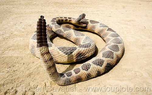rattlesnake with tail up on sand, coiled, fake snake, rattlesnake, toy snake