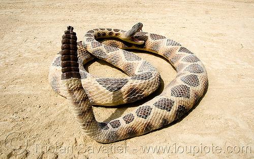 rattlesnake, coiled, fake snake, rattlesnake, reptile, toy snake