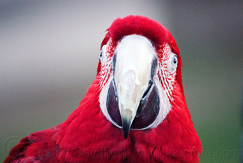 red-and-green macaw parrot head, ara chloropterus, beak, bird, dolores park, green-winged macaw, head, parrot, psittacidae, red-and-green macaw, wildlife