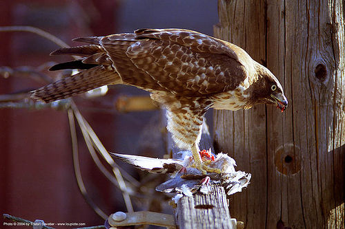 red-tailed hawk eating pigeon, bird of prey, birds, buteo jamaicensis, carnivorous, eating, fresh kill, rapace, raptor, red-tailed hawk, wild bird, wildlife