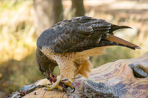 red-tailed hawk eating rodent, bird of prey, buteo jamaicensis, california, carnivorous, eastern sierra, eating, fresh kill, raptor, red-tailed hawk, wild bird, wildlife