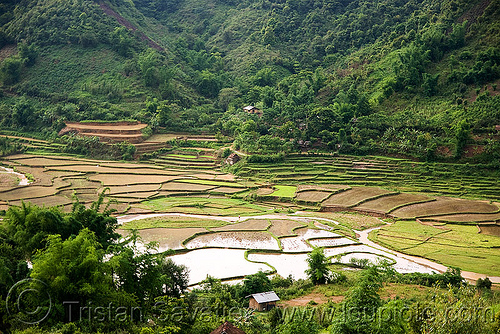 rice fields in nam xam valley (laos), laos, rice paddies, rice paddy fields, valley