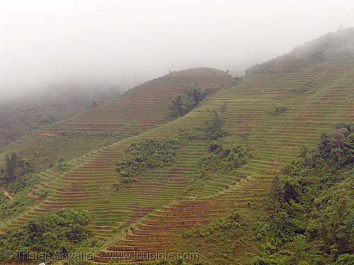 rice fields on hillside - terrace farming - vietnam, agriculture, fog, foggy, hazy, hillside, misty, rice paddies, rice paddy fields, terrace farming, terraced fields, vietnam