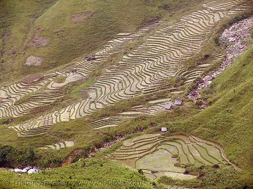 rice fields - terrace farming - vietnam, agriculture, rice paddies, rice paddy fields, terrace farming, terraced fields, vietnam