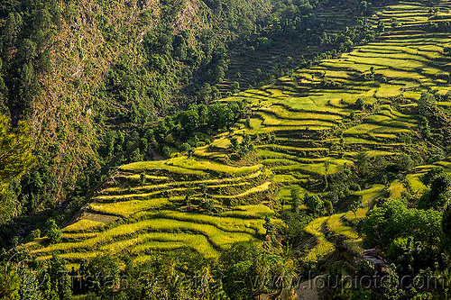 rice fields terraces in himalaya valley (india), agriculture, india, pindar valley, rice paddies, rice paddy fields, slope, terrace farming, terraced fields
