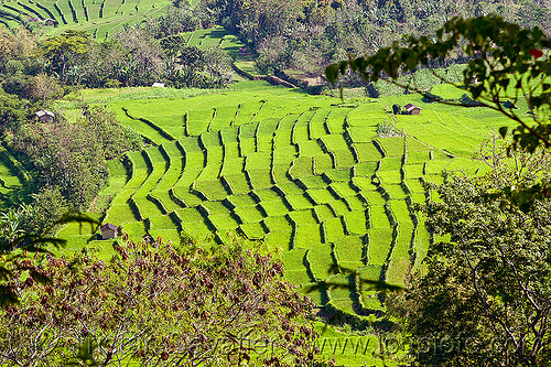 rice paddy fields in flores (indonesia), flores island, indonesia, rice paddies, rice paddy fields, terrace farming, terraced fields