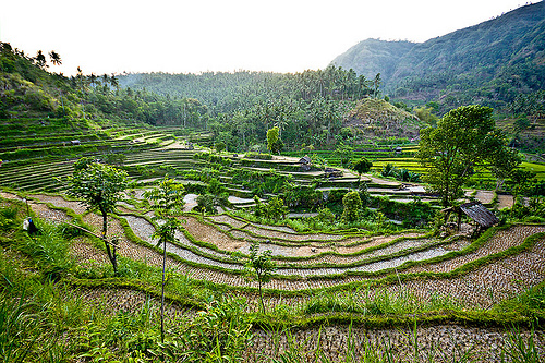 rice paddy fields - terrace farming (bali), agriculture, bali, indonesia, rice paddies, rice paddy fields, terrace farming, terraced fields