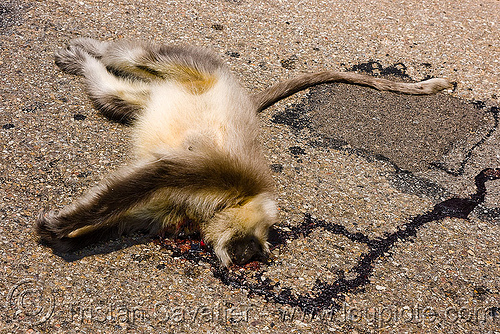 road kill - dead langur monkey, black-faced monkey, blood, carrion, dead, gray langur, india, kashmir, road kill, semnopithecus entellus, wildlife