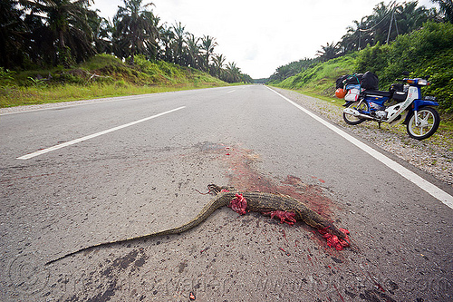 road kill - monitor lizard, carcass, carrion, dead, giant lizard, gory, guts, monitor lizard, motorbike, reptile, road kill, underbone motorcycle, varanus salvator macromaculatus, water monitor, wildlife