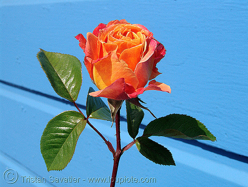wild rose - flower, blue, flower, leaves, orange, wild rose