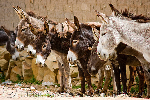 row of donkeys (bolivia), asinus, bolivia, donkeys, equus, heads, row, tarabuco, working animals