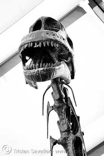 sauropod dinosaur skeleton - skull - chicago O'hare international airport, airport, altithorax, bones, brachiosaurus, chicago, dinosaur, fossil, o'hare, ord, sauropod, skeleton