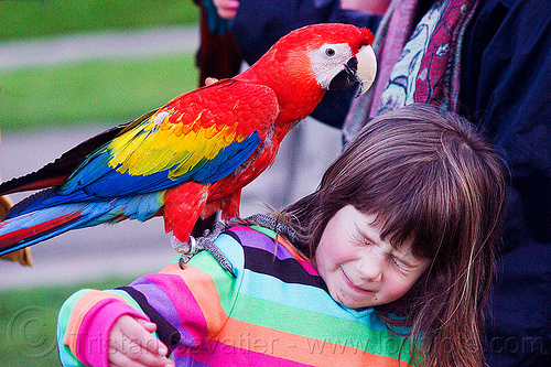 scarlet macaw parrot, ara macao, bird, child, dolores park, kid, little girl, parrot, people, psittacidae, red, scarlet macaw