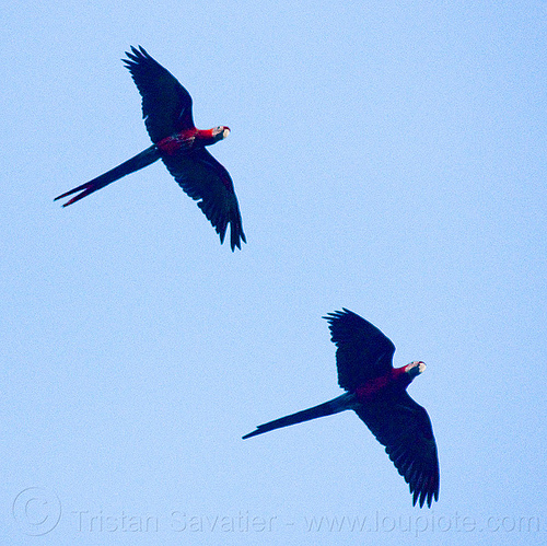 scarlet macaw parrots flying, ara macao, birds, dolores park, psittacidae, wildlife