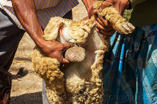 sheep balls (india), cattle market, farmer, hand, holding, people, up-side-down, west bengal