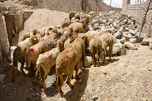sheep flock - leh - ladakh (india), flock, hearding, herd, india, ladakh, leh, sheeps, लेह