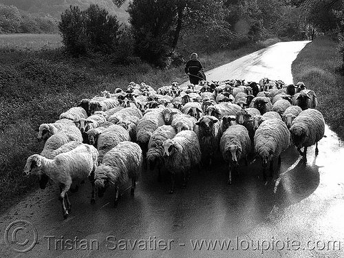 sheep herd on road (bulgaria), backlight, flock, herd, herding, road, sheep, shepard