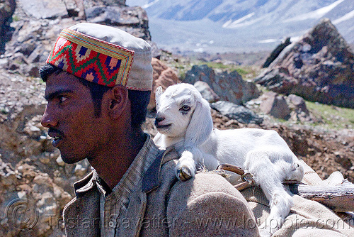 shepard with lamb - manali to leh road (india), baby sheep, ladakh, lamb, man, mountains, uushepard