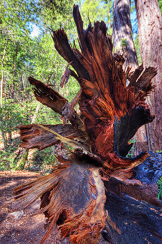 shredded redwood tree trunk (vantana wilderness), big sur, fallen tree, forest, hiking, pine ridge trail, redwood tree, sequoia sempervirens, tree trunk, trekking, vantana wilderness