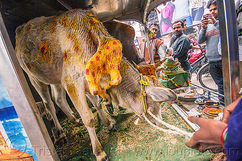 six legged cow (india), baby cow, calf, cellphone, holy cow, men, mobile phone, offerings, painted, people, taking photos, varanasi