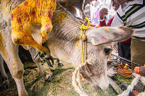 six legged cow (india), 6 legged cow, baby cow, calf, holy cow, legs, offerings, painted, polymelia, six legged cow, varanasi