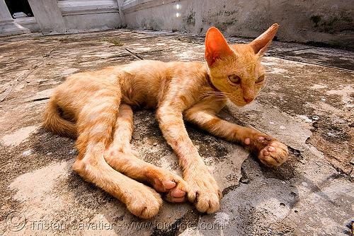 cat - luang prabang (laos), kitten, skinny