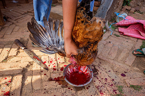 slaughtering and bleeding a chicken (nepal), bird, bleeding, blood, chicken, dead, nuwakot, poultry, slaughtering