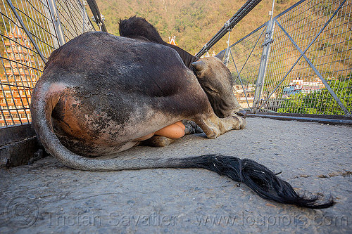 sleeping bull (india), laxman jhula bridge, lying down, rishikesh, sleeping bull, street cow, tail