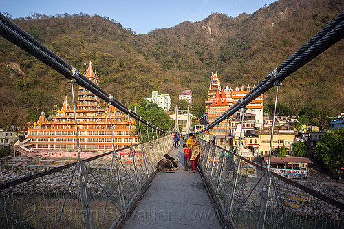 sleeping bull on laxman jhula bridge (india), ashrams, cables, ganga river, ganges river, lakshman jhula bridge, laxman jhula bridge, rishikesh, sleeping bull, street cow, suspension bridge, water