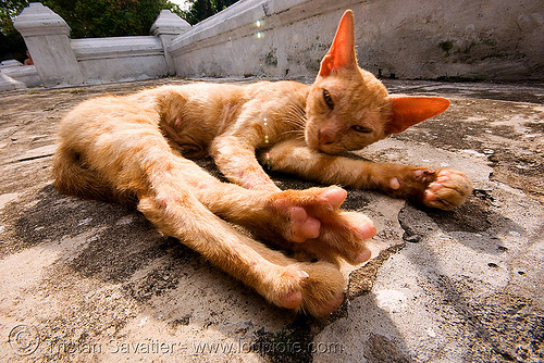 sleepy cat stretching legs, ears, kitten, luang prabang, skinny, stray cat, stretching