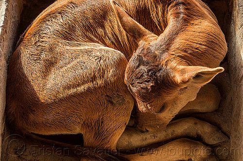 small calf sleeping - curled-up, baby cow, calf, curled-up, india, rishikesh, sleeping