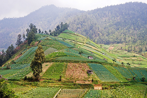 small fields on a hill, agriculture, farming, fields, forest, gunung lawu, hill, hilly, java, mount lawu, mountains, trees