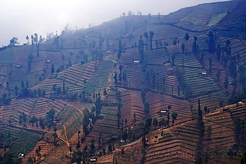 small fields on a steep hill, agriculture, diagonal, farming, fiels, grooves, hill, java, mountains, steep, trees