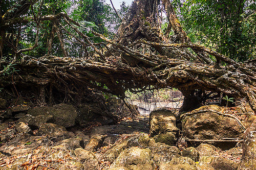 small living root bridge near mawlynnong (india), banyan, east khasi hills, ficus elastica, footbridge, india, jungle, living root bridge, mawlynnong, meghalaya, rain forest, rocks, roots, strangler fig, trees