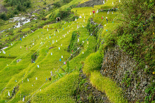 small rice terraces in steep valley (philippines), agriculture, chico valley, cordillera, philippines, rice fields, rice paddy fields, terrace farming, terrace fields