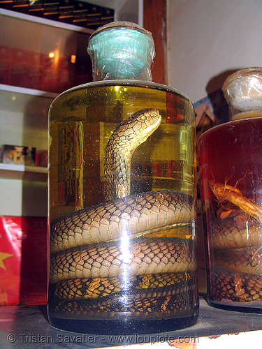 snake wine - jar with king cobra (ophiophagus hannah) - vietnam, alcohol, coiled, endangered species, glass jar, king cobra, liquor, ophiophagus hannah, protected species, rice wine, snake, son la, sơn la, vietnam, vodka