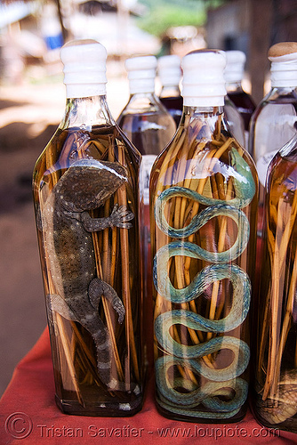 snake wine - tokay gecko and snake in lao-lao bottles (rice alcohol) - laos, ahaetulla nasuta, ahaetulla prasina, beverage, bottles, gekko gecko, green tree snake, lao whisky, lao-lao, liquor, luang prabang, pak ou caves temples, reptile, rice alcohol, rice whisky, rice wine, tokay gecko, vodka, whisky village, wildlife