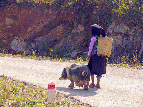 sow - miao  tribe woman with her pig on the road - vietnam, asian woman, hill tribes, indigenous, mature woman, miao tribe, mèo vạc, old, pig, sow, vietnam