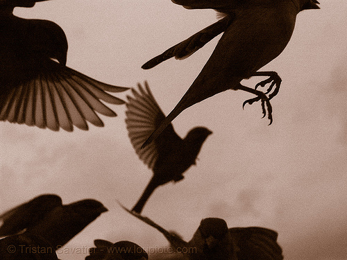 sparrows flying (paris), backlight, claws, feathers, feet, flying, moineau, moineaux, moving, paris, piafs, sepia, sparrows, sépia, wild birds, wildlife