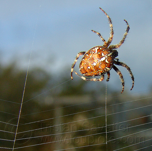 spider building its web, araneidae, araneus diadematus, building, cross spider, european garden spider, spider web, wildlife