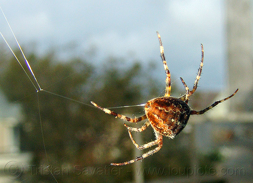 spider building its web (san francisco), araneidae, araneus diadematus, building, european garden spider, female, macro, spider web, wildlife