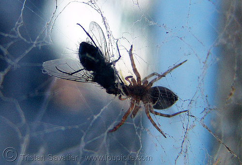 spider eating fly, carnivorous, dead, eating, fly, insect, lunch, predator, prey, spider web, wildlife