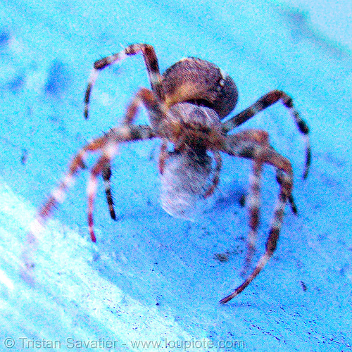 spider holding web ball, blue, spider, web ball, wildlife